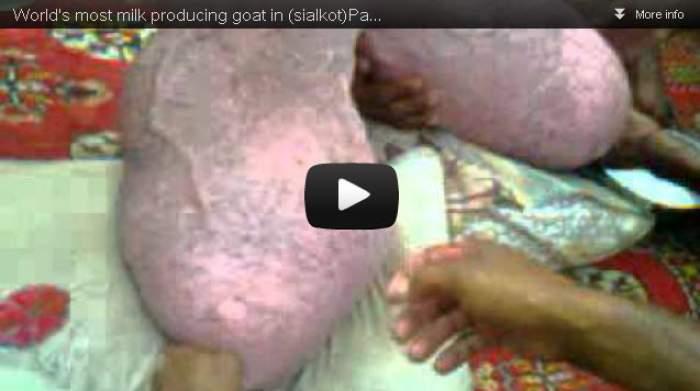 Photo of بالفيديو (مدهش): معزة في باكستان تنتج 40 لتر حليب عند حلبها في كل مرة