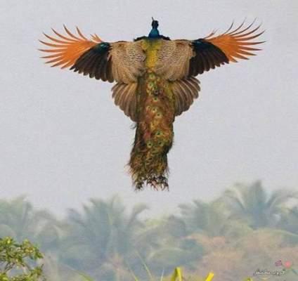 Photo of روعة بالصور: هل شاهدت الطاووس يطير..
