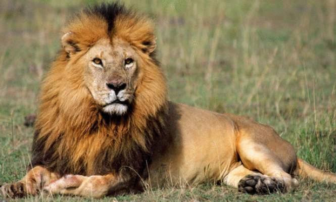 "Photo of ""كون سبع وكولني"": ملوك الغابة يتحولون لوجبات للبشر -صور-"