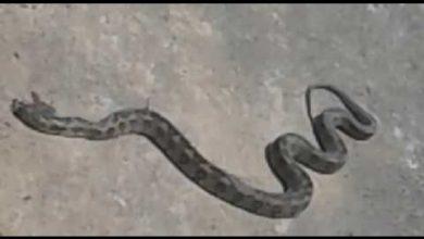 Photo of بالفيديو.. العثور على الأفعى الضخمة التي روعت ساكنة آسفي