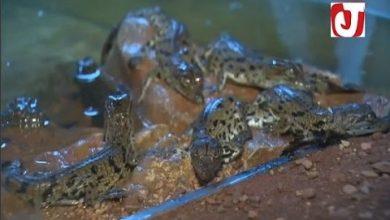 Photo of فيديو لحظة ولادة 18 تمساح صغير بحديقة التماسيح بأكادير