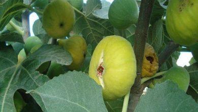 Photo of أخنوش: شجرة التين من الأشجار المثمرة الأكثر مقاومة للتغيرات المناخية
