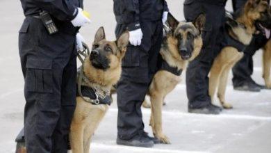 Photo of بالفيديو: هكذا يتم ترويض الكلاب البوليسية بالمغرب