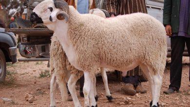 Photo of خرفان مغربية تتسبب في غلق الحدود بين المغرب ومليلية المحتلة