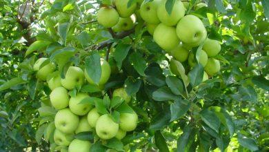 Photo of دراسة تكشف الطريقة الأمثل لتنظيف التفاح من المبيدات الحشرية