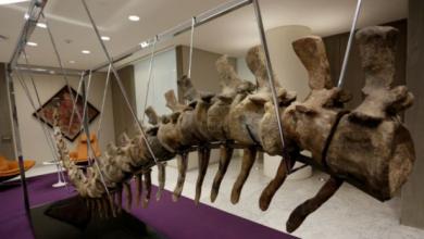 """Photo of فتح تحقيق أولي حول طرح """" ذيل ديناصور"""" مغربي للبيع في مزاد بالمكسيك"""