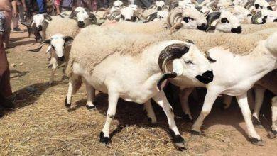Photo of عيد الأضحى: نتائج عملية تسجيل مربي الماشية وترقيم الأغنام والماعز الموجهة للذبح