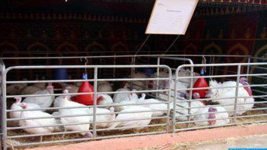 Photo of وزارة الفلاحة توضح طبيعة واردات لحوم الدواجن من الولايات المتحدة الأمريكية