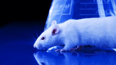 Photo of بالفيديو.. فئران ذكية يمكن السيطرة عليها خلال باستخدام قوة التفكير البشري