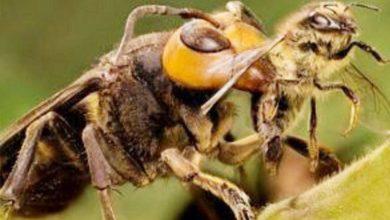 Photo of العثور على أكبر نحلة في العالم مفقودة منذ عشرات السنين