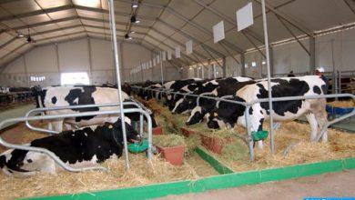 Photo of تلقيح أزيد من مليون رأس من الأبقار ضد مرض الحمى القلاعية إلى حدود 6 فبراير الجاري