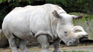 Photo of نفوق آخر أنثى وحيد القرن الأبيض في العالم بإحدى حدائق مصر