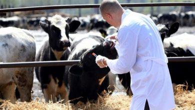 Photo of الـ ONSSA.. تلقيح أزيد من 5ر2 مليون رأس من الأبقار ضد الحمى القلاعية