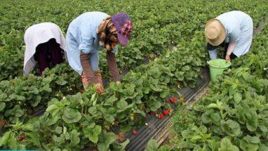 Photo of إسبانيا ترغب في تشغيل أزيد من 16 ألف عاملة مغربية بحقول الفواكه الحمراء