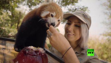 Photo of فيديو: آيس كريم وبطيخ للحيوانات البرية في رمضاء أستراليا