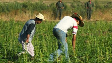 "Photo of هذه تفاصيل مشروع قانون "" الوشايات الكاذبة"" ضد مزارعي ""الكيف"""