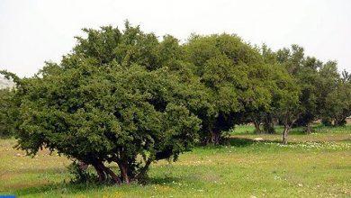 Photo of شجرة الأركان المستوطنة في المغرب محور اهتمام الجمعية العامة للأمم المتحدة
