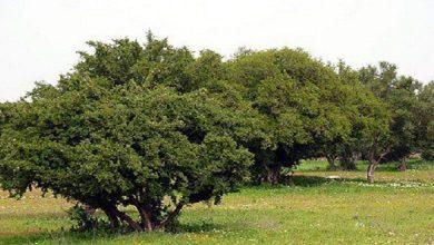 Photo of مؤسسة محمد السادس للبحث والحفاظ على شجرة الأركان تحتفل باليوم العالمي لشجرةالأركان في نسخته الأولى