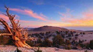Photo of اكتشاف شجرة أمريكية أقدم من الأهرامات