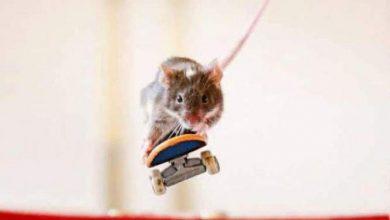 Photo of بالصور فئران تستخدم لوح التزلج كالمحترفين