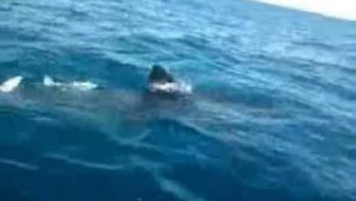 Photo of ظهور القرش الأزرق في الحسيمة