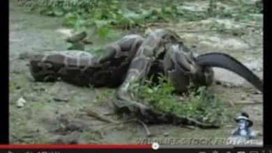 Photo of فيديو : أكل ثعبان تمساحاً لينتقم منه بعدما أكل أولاده