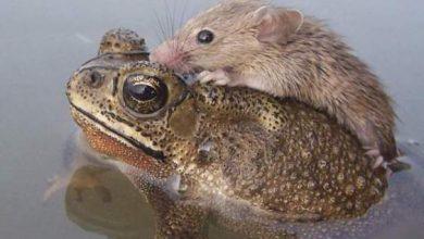 Photo of بالصورة: ضفدع ينقذ فأر من الغرق
