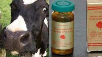 """Photo of دكالة: استعمال حبوب """"دردك"""" لتسمين الأبقار والعجول..ألا يتطلب الأمر تحقيقا جديا"""
