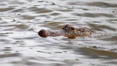 Photo of القبض على تمساح بحجم قياسي طوله 4,5 امتار في الاباما