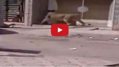 Photo of عاجل شاهد بالفيديو : أسد يتجول حرا طليقا في مدينة السعيدية المغربية