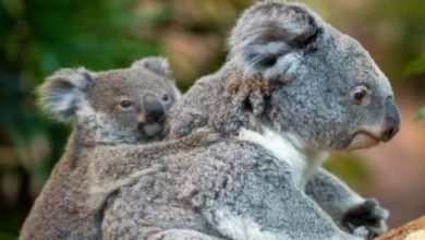 Photo of استرالي ينقذ حيوان كوالا بواسطة التنفس الاصطناعي