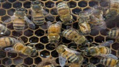 Photo of النحل يتمتع بتنوع جيني مذهل