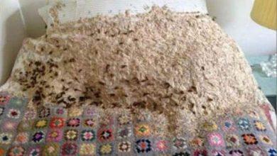 Photo of بريطانية فتحت باب غرفتها لتفاجأ بـ 5000 دبور